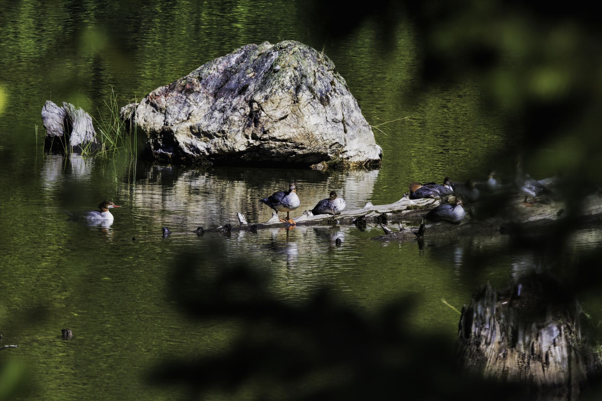 Merganser Ducks Relaxing in the Sun -  by Bear Conceptions Photography