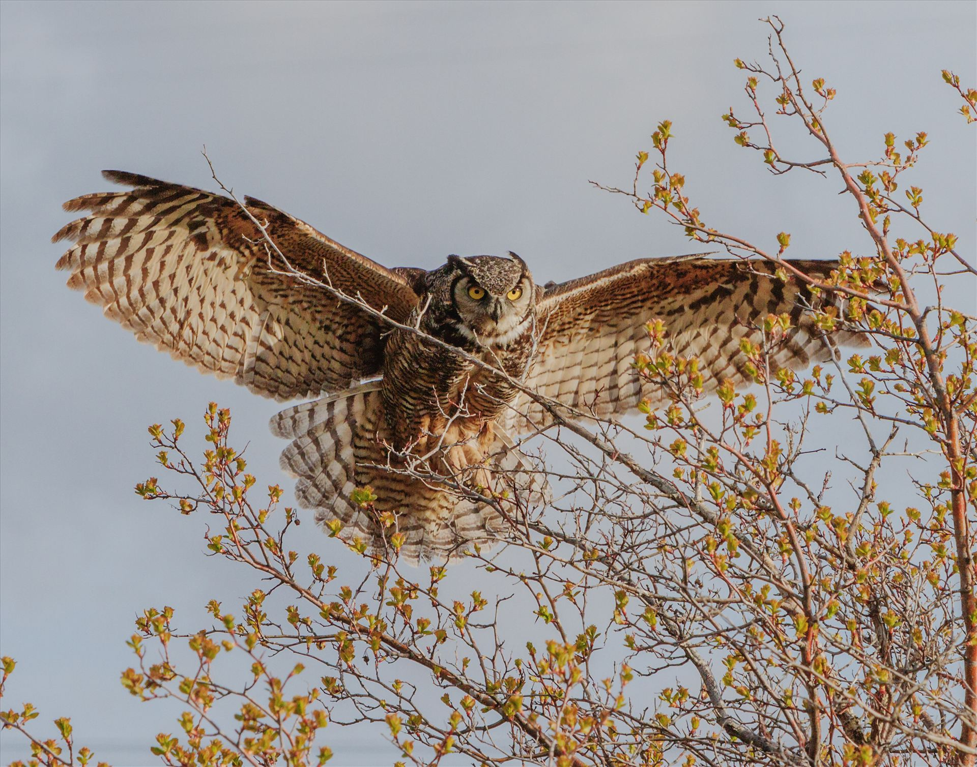 You Are Cleared to Land - Female Great Horned Owl, coming in to land in a tree. by Bear Conceptions Photography