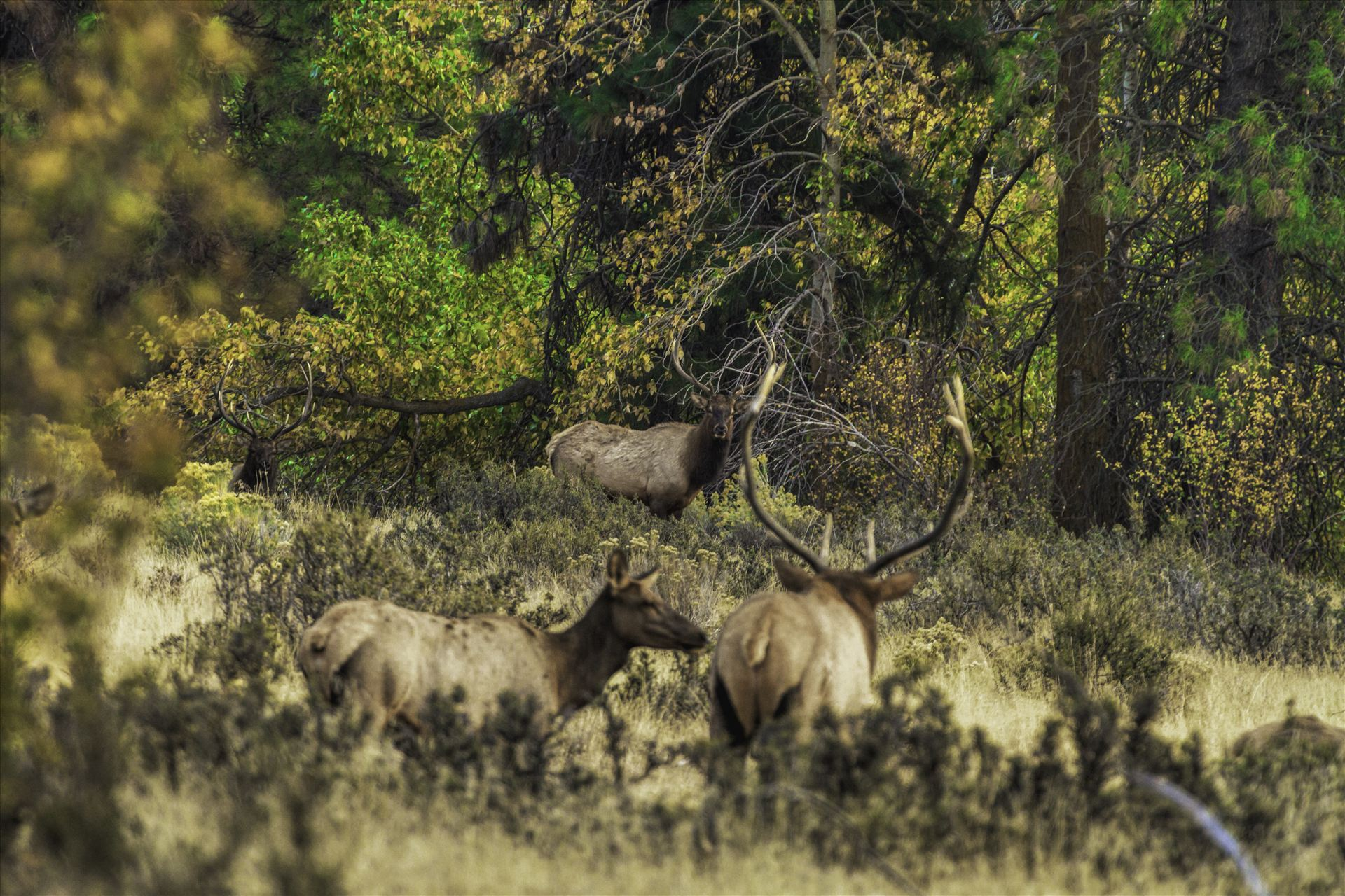 And in This Corner - Watching bull elk in the rut can be intense at times.  This was one of those moments, as the challengers came out of the timber.  It felt like a heavyweight boxing match was about to break out. by Bear Conceptions Photography