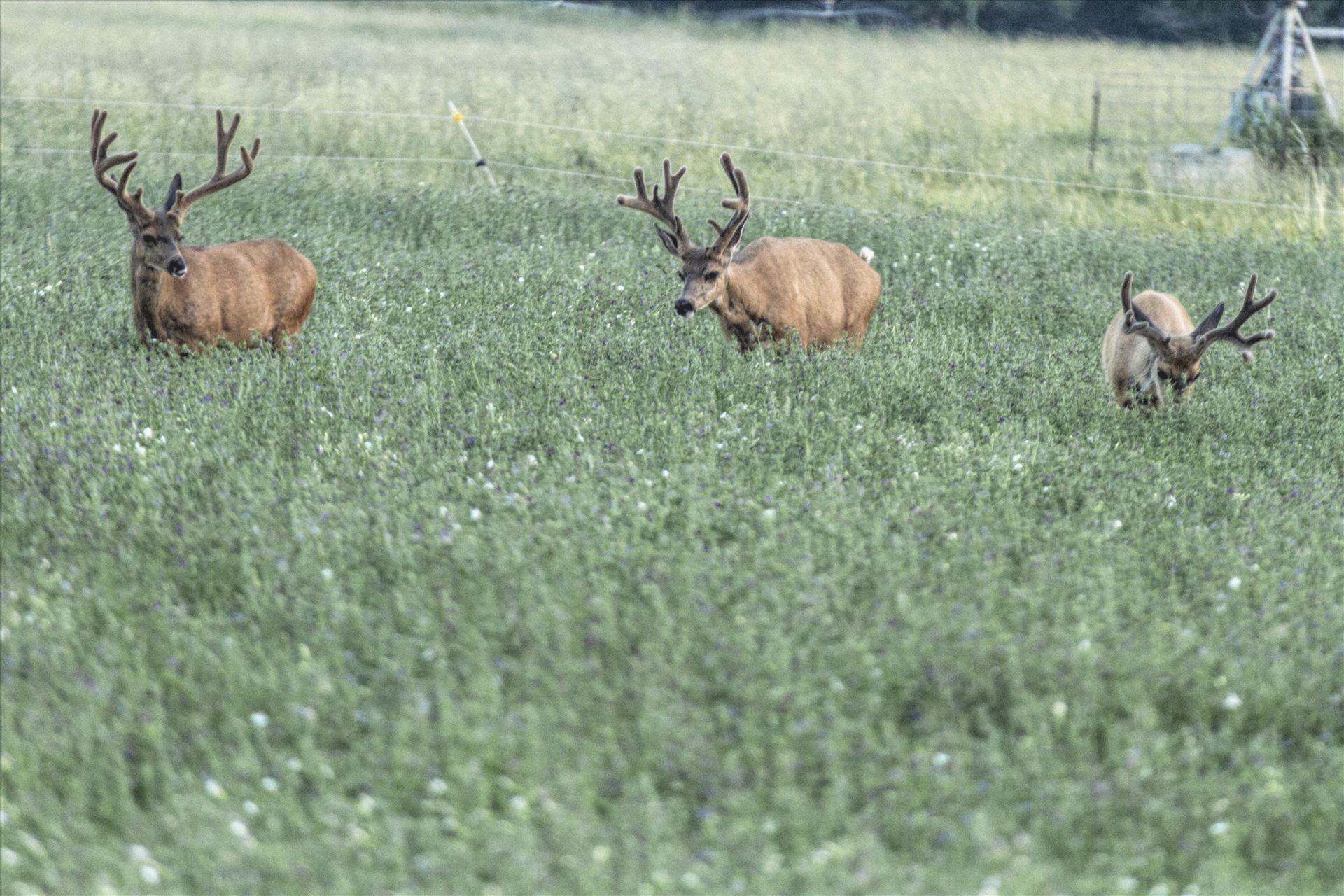 Farm Land BucksEvery chance these bucks get, they are standing in the middle of some of the best alfalfa in the world, feeding and growing.