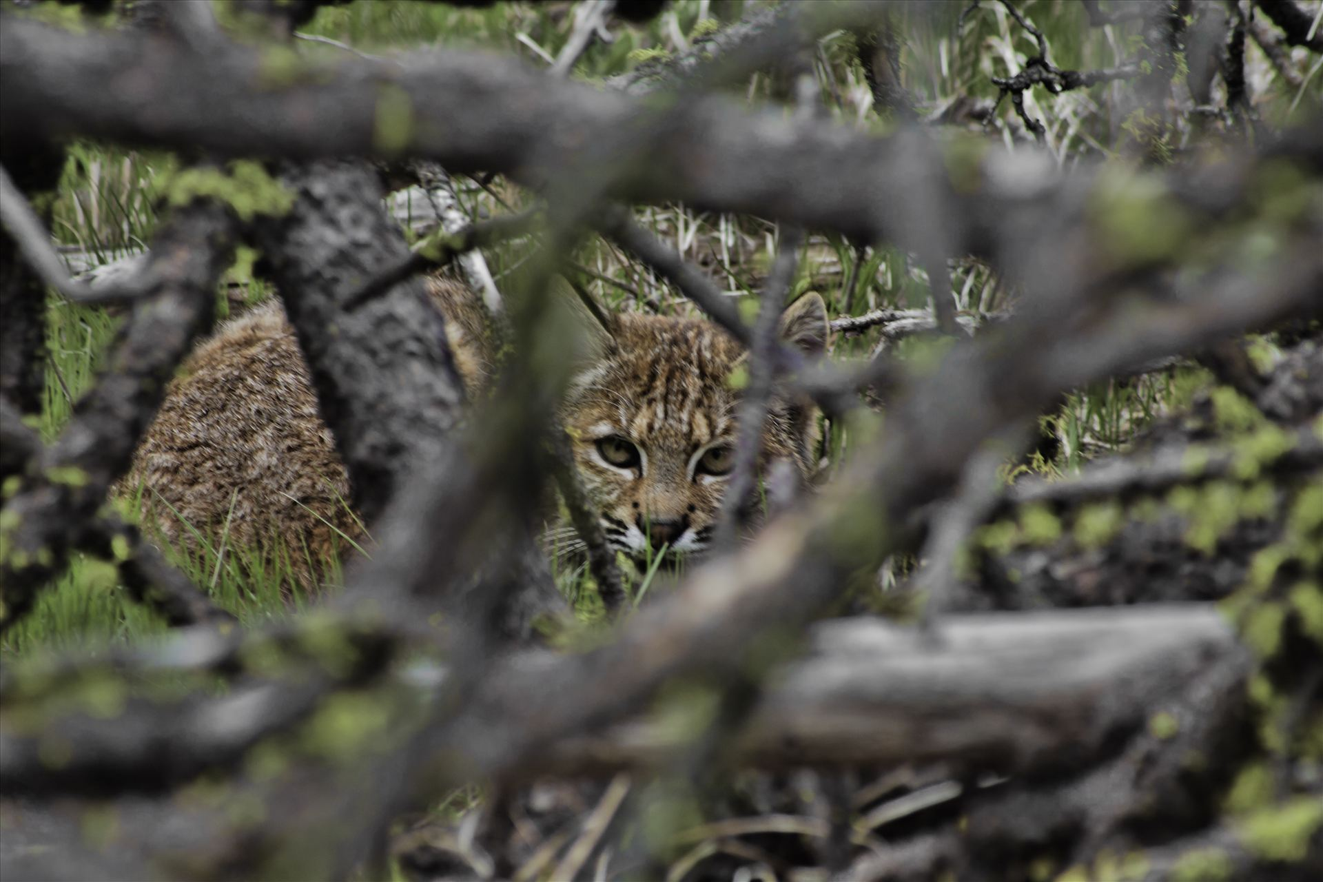 You Can't See Me - Found this bobcat while out hiking.  He thought he was hid behind this brush, between to old logs.  I was less than 15 ft. away at this point. by Bear Conceptions Photography