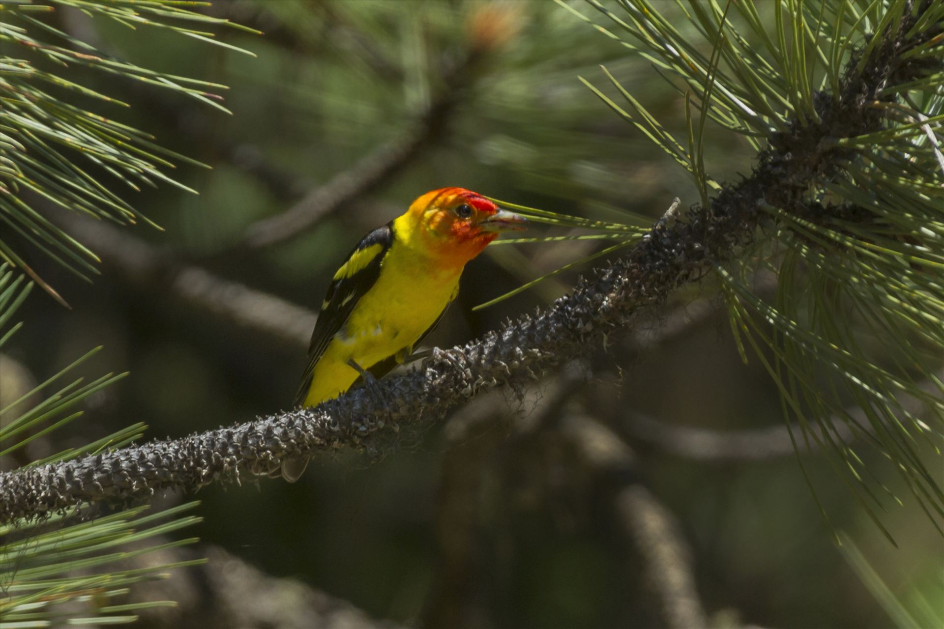 Western Tanager 008.jpg -  by Bear Conceptions Photography