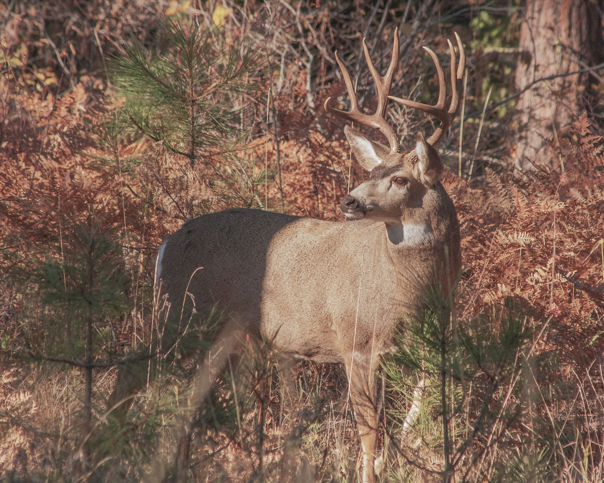 On AlertThis big 4x4 buck has his attention elsewhere as I snuck up on him to get this shot.
