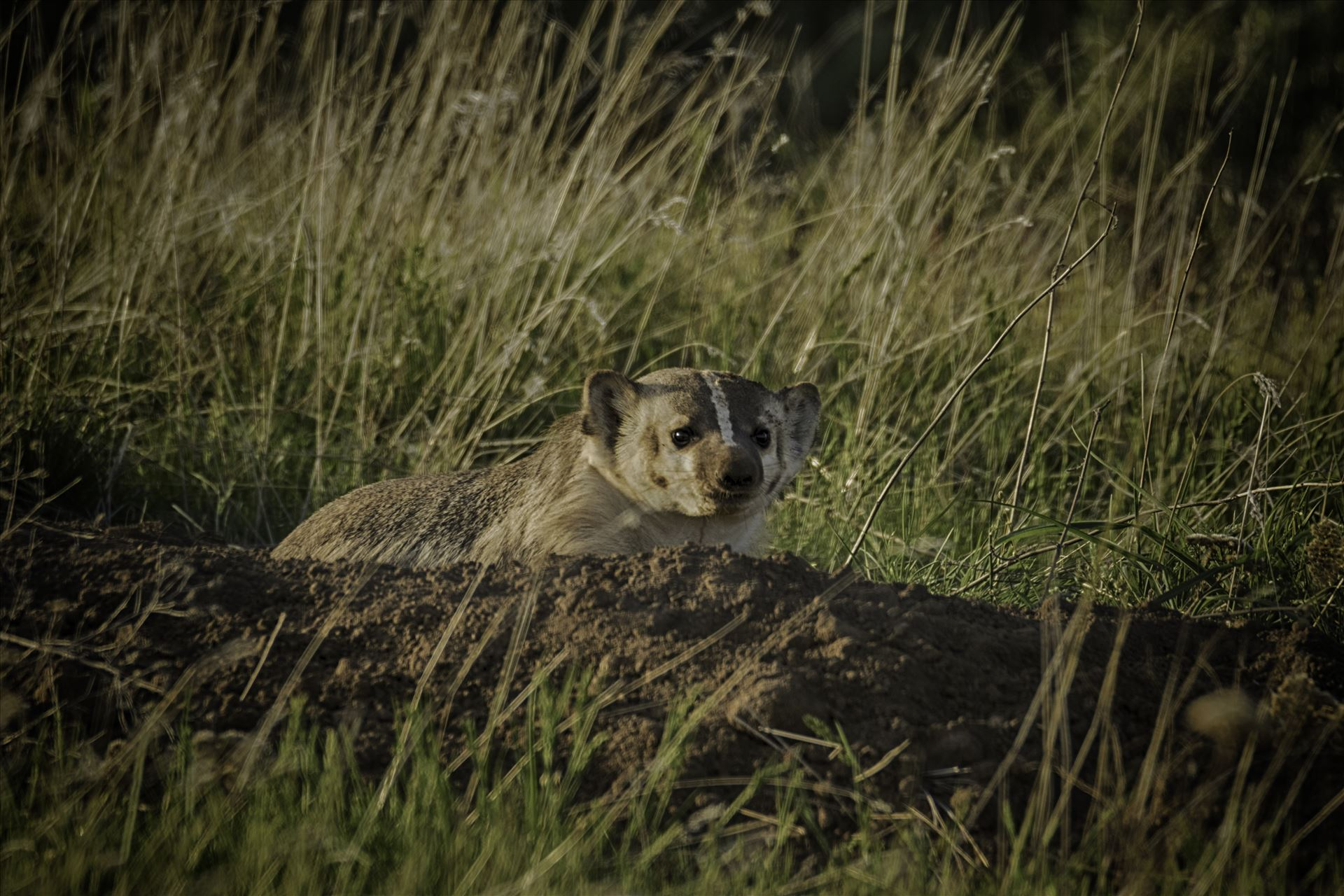 Badger 6Z6A1359.jpg - Badger digging his den out in the spring. by Bear Conceptions Photography