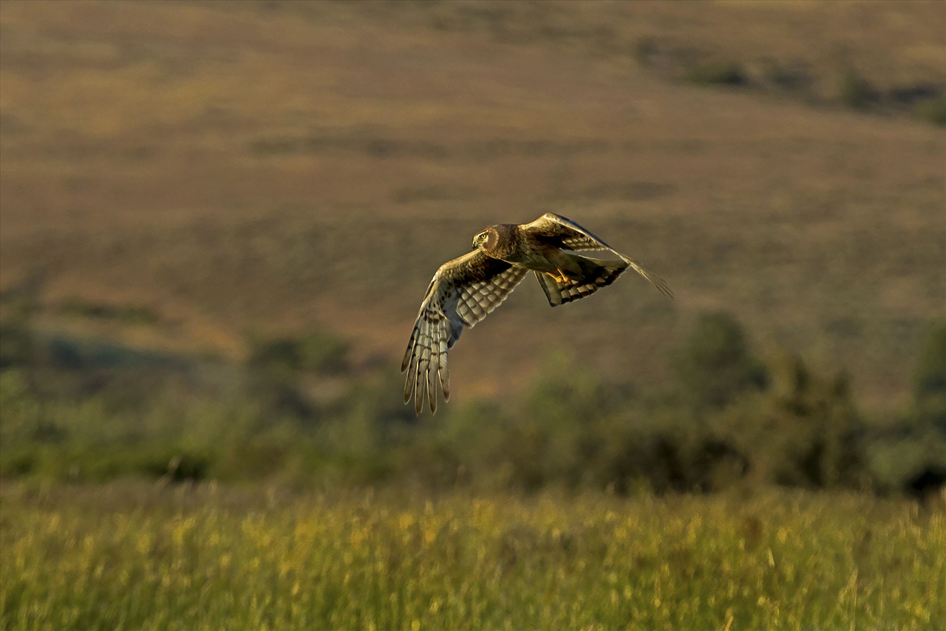 Hunting as the Sun Sets - This hawk was hunting in a stiff wind over hayfields as the sun set. by Bear Conceptions Photography