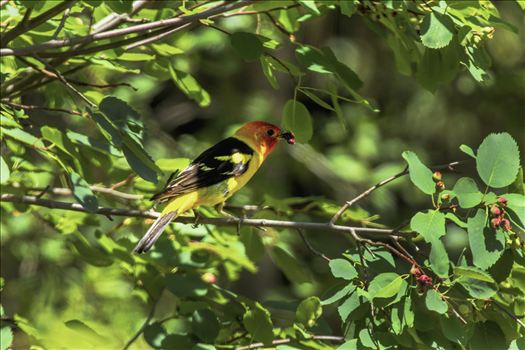 A Western Tanager with its beak full of berries.