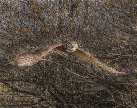 Incoming Flight - Female Great Horned Owl, flying almost directly at me through the brush.
