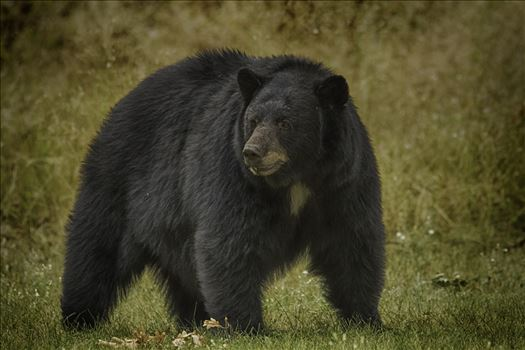 Black bear sow in the late summer sun in central Washington state.
